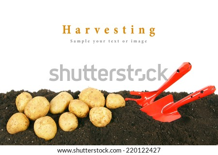 Harvesting. A potato and gardening tools on the earth. - stock photo