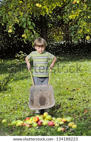 harvesting apples - boy helping in the garden with a wheelbarrow full with apples. - stock photo