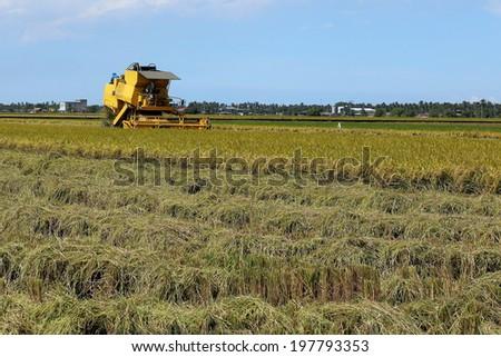 Harvesting at Rice Field - stock photo