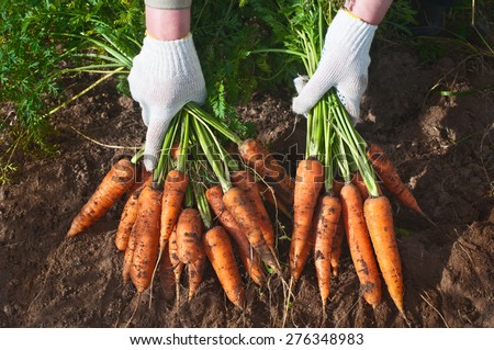 Harvesting carrots. Female hand with bunches of carrots with tops. - stock photo