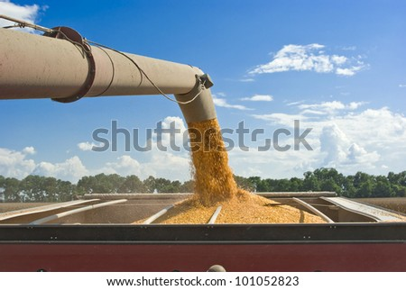 Harvesting corn - View of corn being transferred from a combine to a hopper traveling alongside it, as viewed from the combine. - stock photo