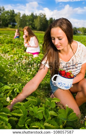 Harvesting girl on the strawberry field. Focus on her and behind group of girls, vertical format - stock photo