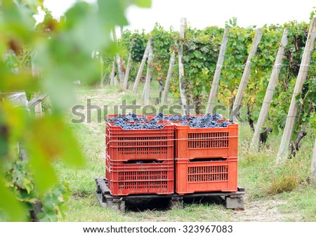 harvesting grape - stock photo