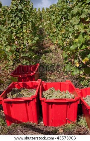 Harvesting grapes in a vineyard at the Mosel, Germany. The grapes being collected in red boxes. - stock photo