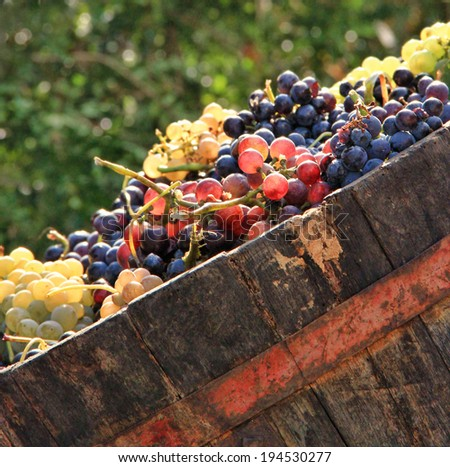 Harvesting grapes: Ripe multi colored grapes inside a bucket - stock photo