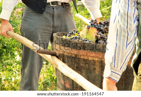 Harvesting grapes: Ripe multi colored grapes inside a bucket during historic wine harvest in Chusclan, south of France - stock photo
