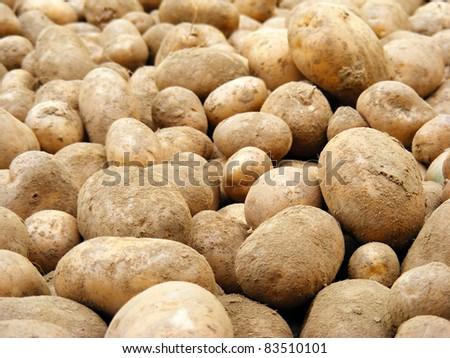 Harvesting potatoes. - stock photo