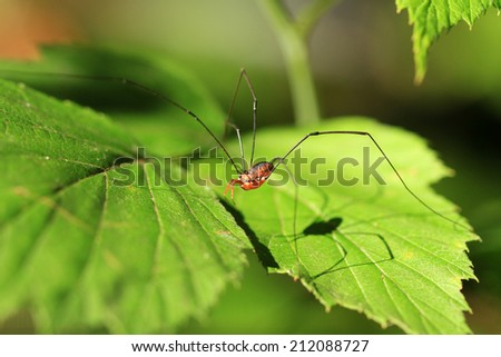 Harvestman - stock photo