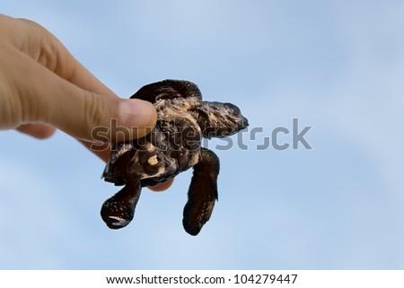 Hatchling Loggerhead  a baby inhand against sky, sri lanla island - stock photo