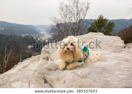 Havanese dog in the mountains - stock photo