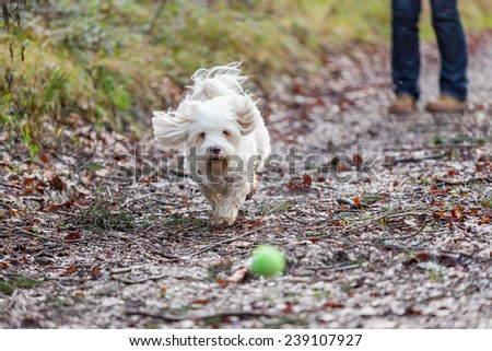 Havanese dog playing with ball in a forrest - stock photo
