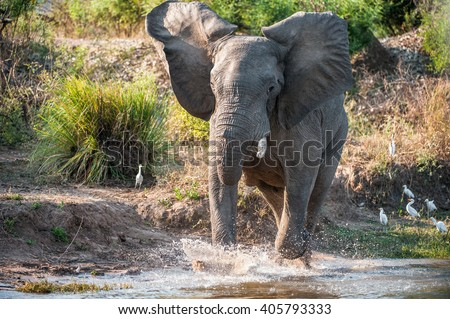 Have angered. Running African savanna elephant (The African bush elephant ( Loxodonta africana) on The river Zambezi. Zambia. Africa - stock photo