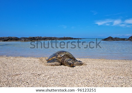 Hawaii Big Island turtle - stock photo