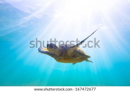 Hawaii Green Sea Turtle  - stock photo