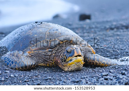 hawaiian green sea turtle on black sand beach looking into camera - stock photo