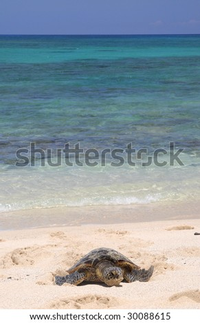 Hawaiian green sea turtle with gorgeous waters in the background. - stock photo