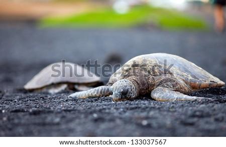 Hawaiian green sea turtles on the black sand beach, Hawaii - stock photo