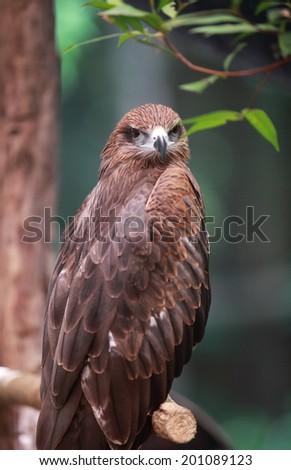 Hawk - stock photo
