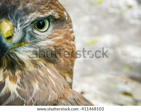 Hawk bird  portrait - hawk eye - stock photo