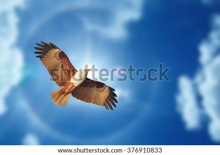hawk (Brahminy Kite )  showing wing spread in flight on blue sky background - stock photo