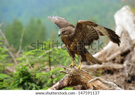 Hawk on a branch in forest - stock photo