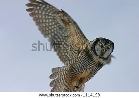 Hawk Owl in flight - stock photo
