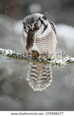 Hawk Owl with catch, brown mouse during winter with snow flake - stock photo