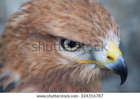 Hawk portrait close-up - stock photo