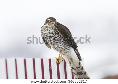 hawk the Sparrowhawk sitting on the fence watching for prey - stock photo