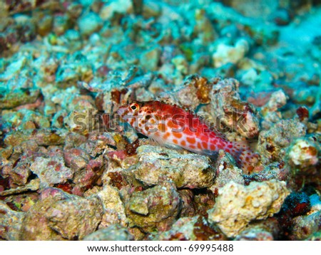 Hawkfish is resting on the sand. - stock photo