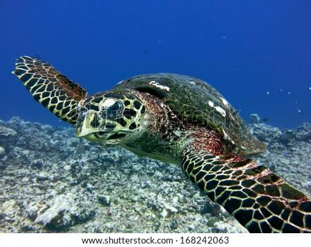 Hawks bill turtle, scuba diving Tahiti - stock photo