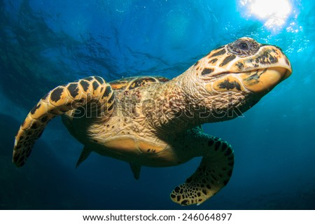 Hawksbill Sea Turtle - stock photo