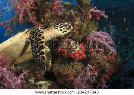 Hawksbill Sea Turtle and coral reef - stock photo
