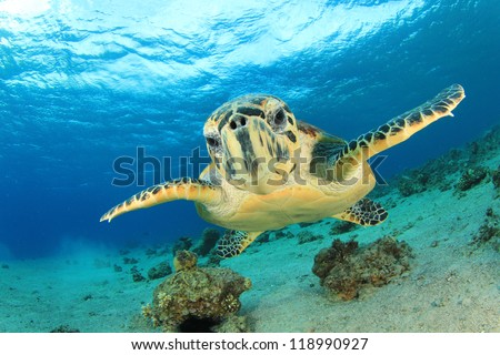 Hawksbill Sea Turtle comes face to face with camera in Eilat, Israel - stock photo