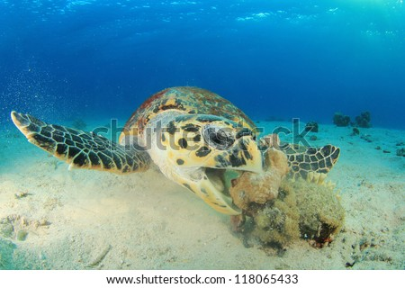 Hawksbill Sea Turtle eating coral - stock photo