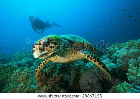 Hawksbill Sea Turtle eats coral while Scuba Diver observes in background - stock photo