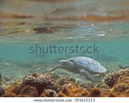 Hawksbill sea turtle (Eretmochelys imbricata) in water over coral reef, tropical tortoise swimming underwater - stock photo