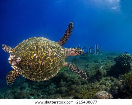 Hawksbill sea turtle (Eretmochelys imbricata) swimming close to the reef, Komodo, Indonesia. - stock photo