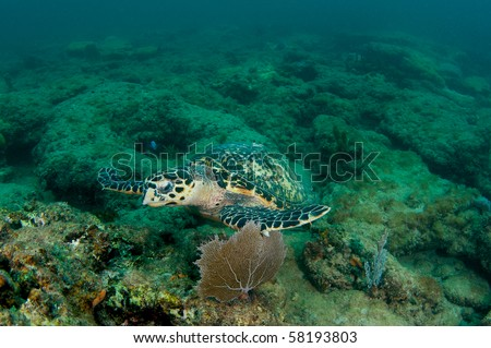 Hawksbill Sea Turtle-Eretmochelys imbriocota, picture taken in Broward County, Florida - stock photo