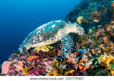 Hawksbill Sea Turtle feeding on a healthy tropical coral reef - stock photo