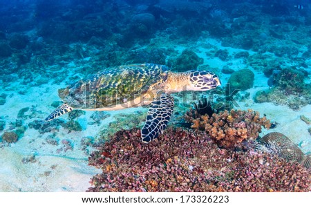 Hawksbill Sea Turtle on a tropical coral reef - stock photo