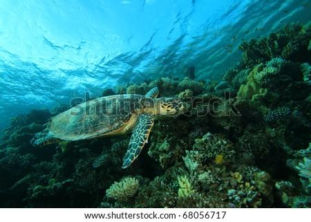 Hawksbill Sea Turtle on coral reef - stock photo