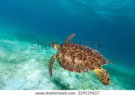 Hawksbill sea turtle swimming in tropical ocean - stock photo