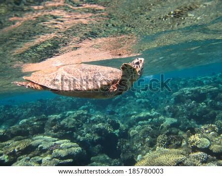Hawksbill sea turtle swimming near the corals - stock photo