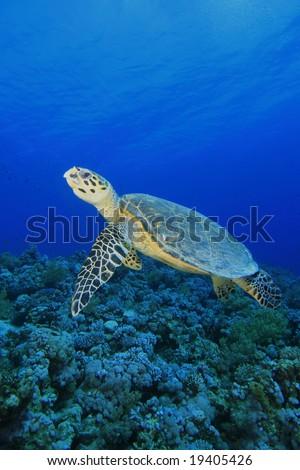 Hawksbill Sea Turtle swimming over a pristine coral reef - stock photo