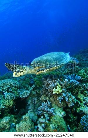 Hawksbill Turtle - stock photo