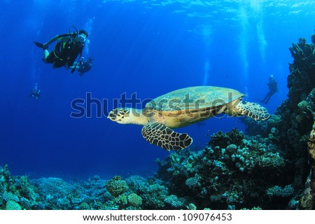 Hawksbill Turtle and Scuba Divers in the Red Sea - stock photo