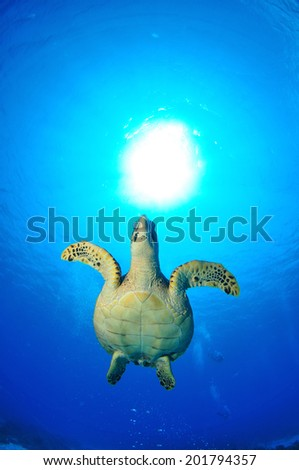 Hawksbill Turtle ascending face on, Grand Cayman - stock photo