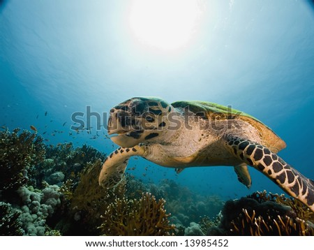 hawksbill turtle (eretmochelys imbricata) - stock photo