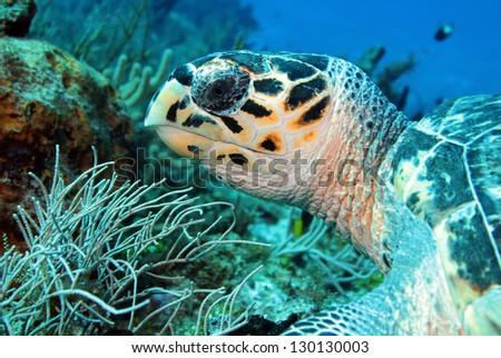 Hawksbill Turtle (Eretmochelys Imbricata) Close-up, Cozumel, Mexico - stock photo